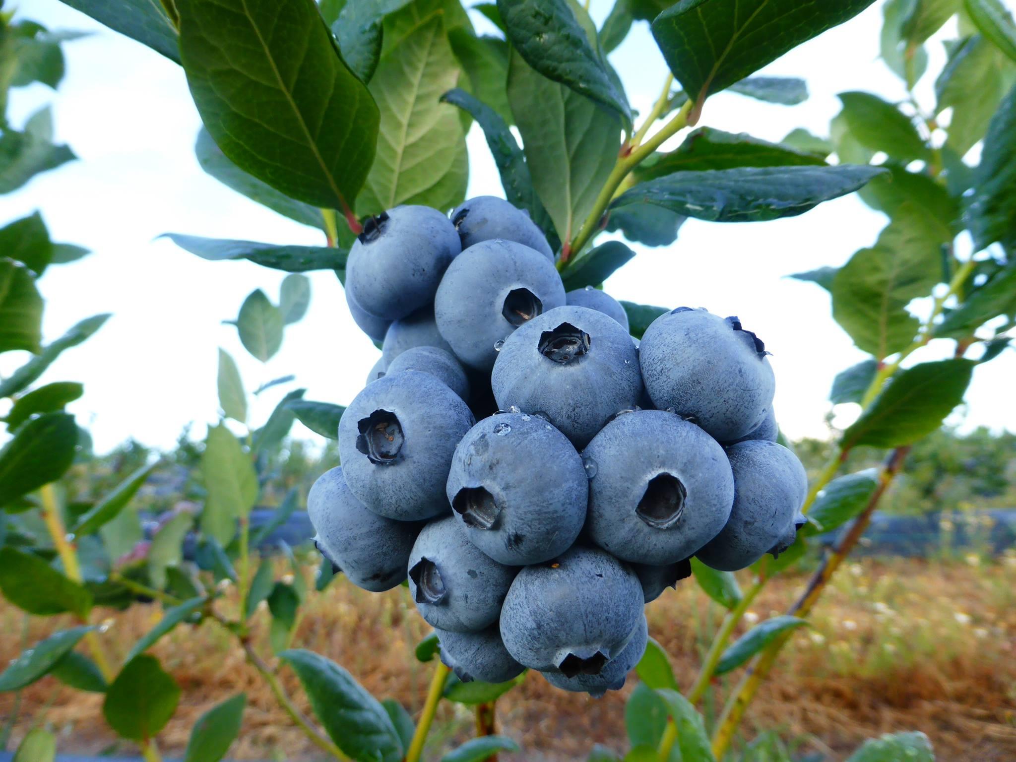 Beiraberry
