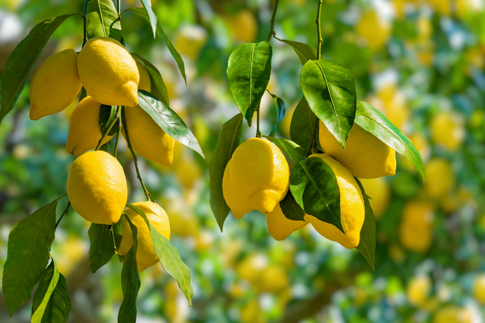 Limão do Cuco
